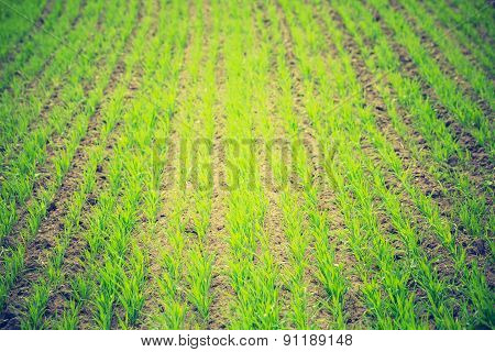 Vintage Photo Of Young Green Cereal Sprouts On Field