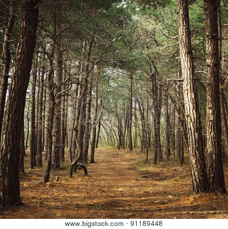 Path In A Pine Forest