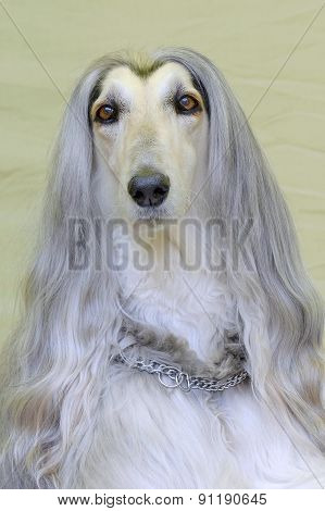 The Portrait Of Very Old Afghan Hound Dog