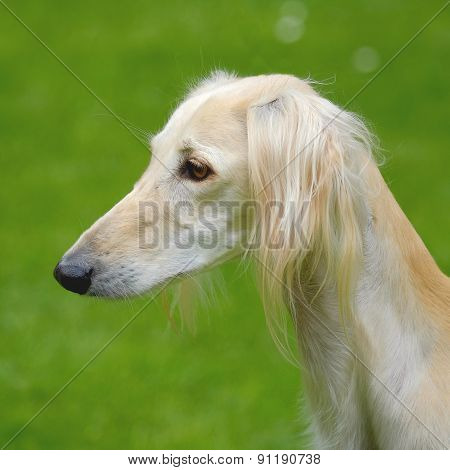 The Portrait Of Saluki Dog On A Green Grass Lawn