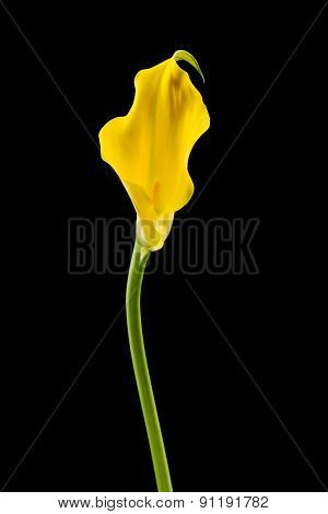 Yellow calla lily on black background