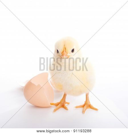 Beautiful Little Chick And Eggshell
