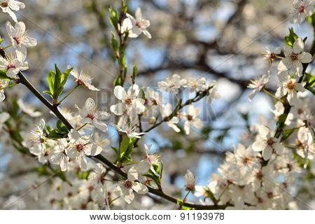 Spring Garden Flowers Blooming Cherry Trees
