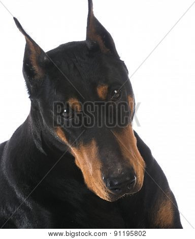 doberman pinscher portrait on white background