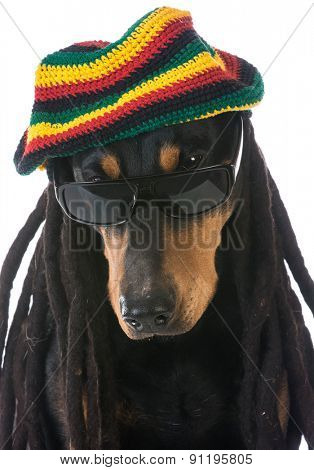 dog in costume - doberman dressed with dreadlocks on white background