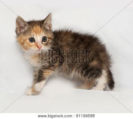 Tricolor Fluffy Kitten Going On Gray