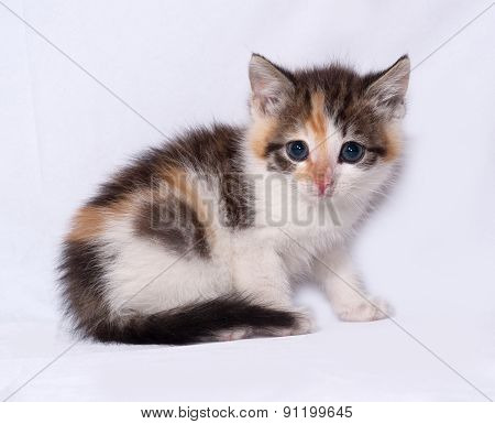 Tricolor Fluffy Kitten Sitting On Gray