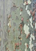 Platan Bark Background