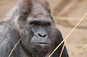 picture of gorilla  - Western Lowland Gorilla  - JPG
