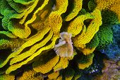 stock photo of bottom  - coral reef with yellow turbinaria mesenterina and fan worm at the bottom of tropical sea - JPG