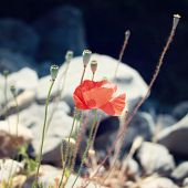 picture of wild turkey  - Poppies among the grey stones  - JPG
