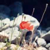 pic of wild turkey  - Poppies among the grey stones  - JPG