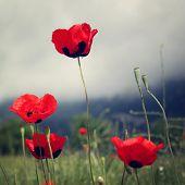 stock photo of wild turkey  - Poppy flowers along the Lycian Way  - JPG