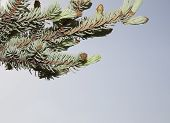 foto of blue spruce  - On young shoots of blue spruce hiding a small long brown spider - JPG