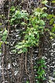 stock photo of climber plant  - ancient limestone wall covered with climber plants - JPG