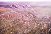 image of grass area  - Silky grass  - JPG