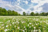 foto of pastures  - Many overblown dandelions in pasture with cloudy sky - JPG