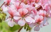 picture of geranium  - Geranium flowers withh pink - JPG