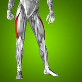 picture of human muscle  - Concept or conceptual 3D human upper leg anatomy or anatomical and muscle on green gradient background - JPG