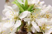 picture of monocots  - Mayflower flower - JPG