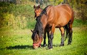 picture of pastures  - Two horses walking on the pasture - JPG