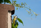 picture of tit  - Blue Tit with the Made nest box with sky - JPG
