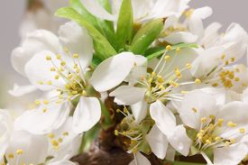 pic of belladonna  - Mayflower flower - JPG