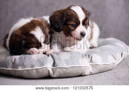 puppies Papillon sleeping on pillow