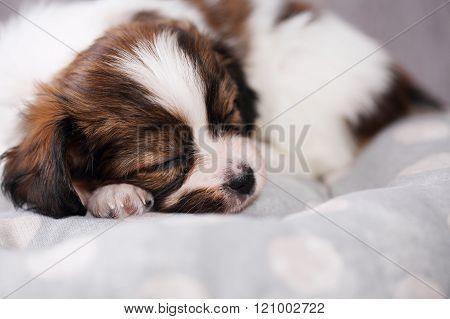 small puppy sleep