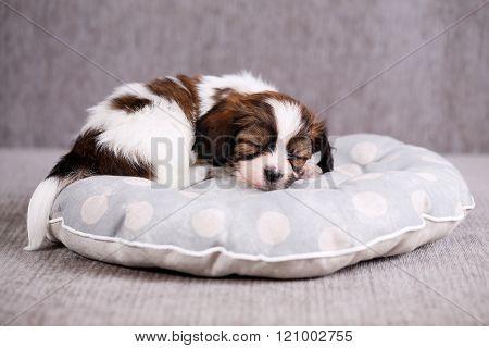 puppy on a soft pillow