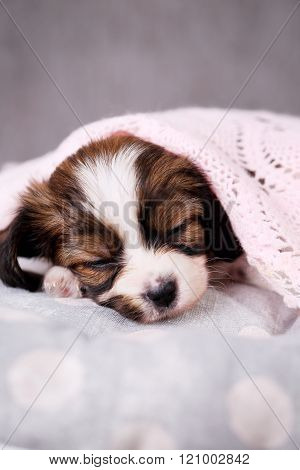 puppy with a blanket, close-up