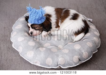 puppy sleeps in a hat on a pillow
