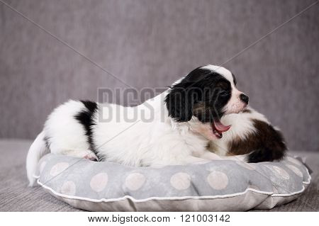 puppies on a gray