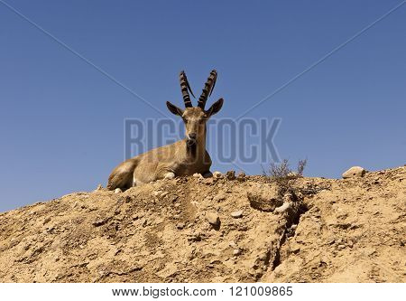 Ibex On A Hill