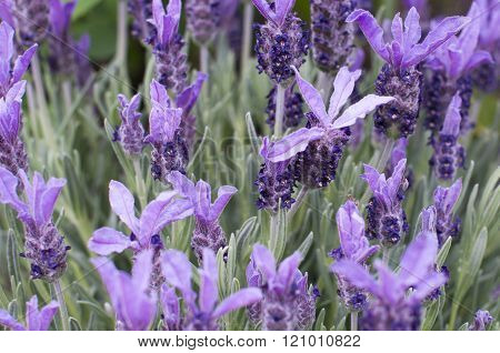 Lavender Flowers Spring Summer