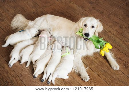 golden retriever dog with puppies