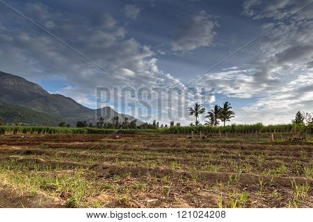 View Of A Typical Sugar Cane Field In Marayoor Village Near Munnar, Kerala, India