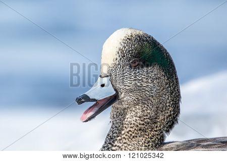 American Wigeon Drake, Anas Americana