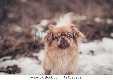 Adult Pekingese Dog Posing On A Nature Winter Background Walking Outdoors