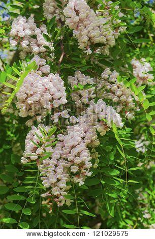 Beautiful Acacia flowers closeup