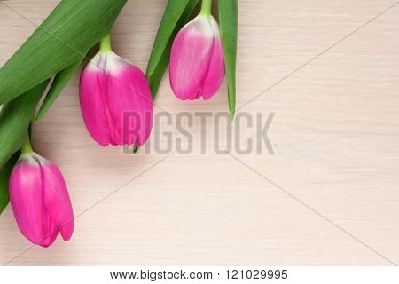three pink Bud of a Tulip