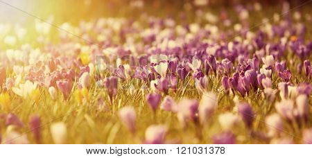 Beautiful crocus flowers in the sunset