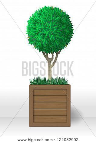 Decorative Evergreen Plant