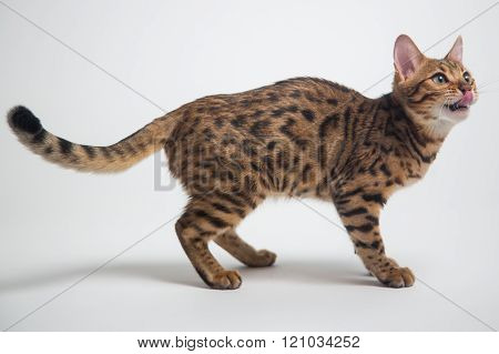 Bengal Cat Playing On White Background