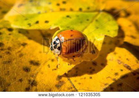 Detail Of Ladybird