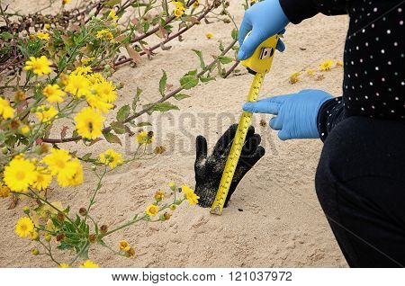 Forensic expert is measuring the dead hand length