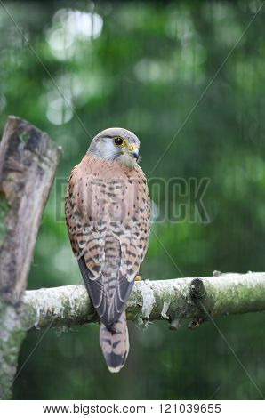 A Small Falcon Sitting On The Bough Of The Tree