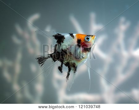 Fish angelfish. Aquarium