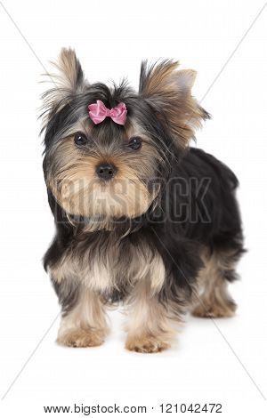 Three Months Old Yorkshire Terrier Isolated On White