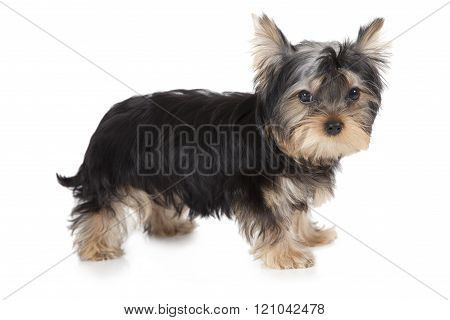 Three Months Old Yorkshire Terrier